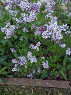 Can't wait for ours to get bigger! Minature lilac bush