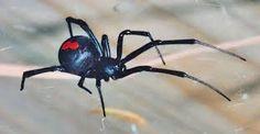 Výsledek obrázku pro obrázky pavouci jedovatí