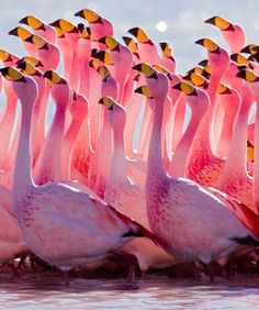 Dancing Flamingos – Very Beautiful [[...just stay upwind of large flocks; they're kinda stinky ]]