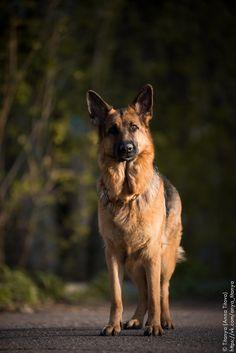 Curious german shepherd - null