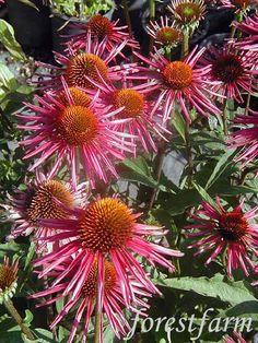 Echinacea  Pica Bella  - Pink Coneflower  - Flower