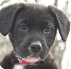 Pet Adoption has dogs, puppies, cats, and kittens for adoption. Pet Adoption, Labrador Retriever, Kittens, Puppies, Pets, Animals, Labrador Retrievers, Cute Kittens, Cubs