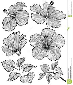 Hibiscus flower graphic head set with leaves and branch with leaves isolated on white background. Vector illustration, hand-drawn.
