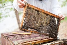 Bees are rather particular about their digs. The hive is composed internally of beeswax cells, honeycomb that contains larvae, honey and pollen. Learn more about how we harvest honey at Babylonstoren, South Africa. Tonic Water, Gin And Tonic, Bee Wings, Spicy Honey, Gin Fizz, Save The Bees, Bees Knees, Beekeeping, Honeycomb
