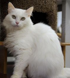 Meet Lilly Pad, a Petfinder adoptable Domestic Long Hair-white Cat   Atascadero, CA   Polydactyl and declawed on front paws