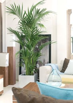nl Palm Kentia Howea in pot Capi Indoor Palms, Living Room Plants, Casa Clean, Farmhouse Bedroom Decor, Large Plants, Cactus, Plant Decor, Trees To Plant, Houseplants