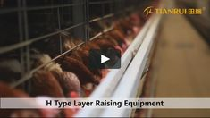 https://player.vimeo.com/video/202491669 #chicken cage system#battery cage system#poultry production# Framing Port-Full automatic chicken cage system/ battery cage system for your poultry production manager@farmingport.com   whatsapp +18561818859   http://www.farmingport.com