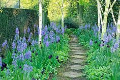 CAMASSIA CUSICKII WITH TULIPA QUEEN OF THE NIGHT (POUND HILL GARDENS)