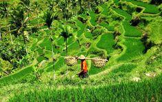 Photo Riziere de Tegallalang - Partagez vos photos en ligne et albums photos de voyage - GEO communauté photo
