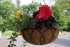 Tuberous Begonias thrive in hanging planters on verandah of Greenville Inn #begonias #Maine #Mooseheadlake