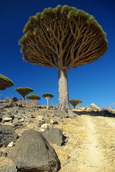 The Dragon's Blood Trees of Socotra, Yemen, whose resin has many uses for practitioner's of The Craft.