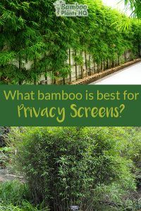 Growing a privacy screen with bamboo is a great idea if you want a fast-growing and affordable solution. Bamboo plants can fill up the desired space within a few months to a couple of years. Bamboo Screening Plants, Privacy Screen Plants, Privacy Trees, Garden Screening, Bamboo Privacy Fence, Fence Plants, Outdoor Bamboo Plants, Plant Screening, Privacy Fence Decorations
