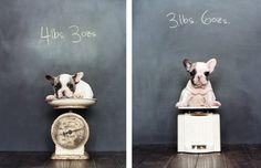 Sharon Montrose - Commercial Animal Photographer, Dog Pictures, Dog Photographer, Pet Photography: French Bulldogs:Lightweights Littermates