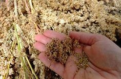 Harvesting and Threshing Quinoa | Grow.Gather.Eat
