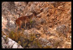 Ibex, Rambla De Oria, Almeria.