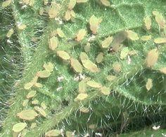 Afidios enfermedad de la planta- pulgones http://www.elicriso.it/es/como_cultivar/ruellia/