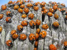 Breskens ladybugs