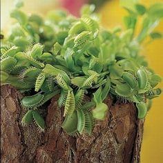 muchołówka (Dionaea) fot. Biuro Kwiatowe Holandia