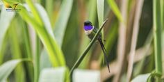 2085. Slender Sheartail (Doricha enicura) | found in El Salvador, Guatemala, Honduras, and Mexico in subtropical or tropical moist montane forests and heavily degraded former forest