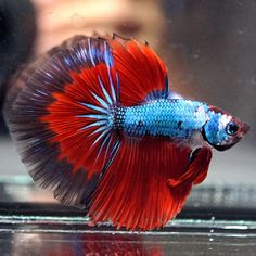 Live-Betta-Fish-034-DEEP-SKY-BLUE-VENETIAN-RED-034-Halfmoon-HM-Male