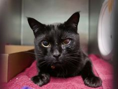 CHARLIE - 12267 - - Brooklyn  *** TO BE DESTROYED 11/16/17 ***NEW PHOTOS!  4 year old CHARLIE was surrendered by his owner.  He has some corneal scarring on one eye and is already neutered.  Charlie wants a new furever home for the holidays! BE HIS HERO BY RESERVING HIM BY NOON TOMORROW! -  Click for info & Current Status: http://nyccats.urgentpodr.org/charlie-12267/