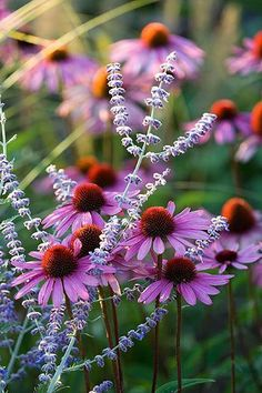 Autumn Flowers - Russian Sage and Coneflowers #russiansage #autumnflowers