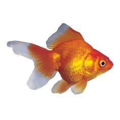 Red Ryukin Goldfish - Goldfish - Fish - PetSmart for my fish hotel