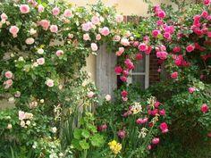 Pierre de Ronsard and Pink Cloud rose