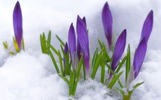 Purple Crocus Peeking through the Snow ♥ ~ the first sign of Spring Spring Flowers Wallpaper, Flower Wallpaper, Ikebana, Amazing Flowers, Beautiful Flowers, Frühling Wallpaper, 1920x1200 Wallpaper, Wallpaper Backgrounds, First Flowers Of Spring