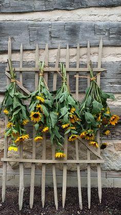 Drying sunflowers