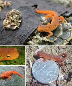 Red Efts are amphibians, Newts to be exact. The bright orange, red-spotted, land-dwelling creature found in moist eastern American forests is, surprisingly, not the creature's adult stage but rather its juvenile iteration. Born in water as gill-breathing larva, Red Efts will eventually return to an aquatic lifestyle for the balance of their unusually long lifespan – up to 15 years!