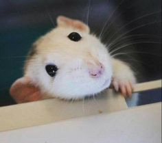 Aww, Little Rattie - My heart just melted!