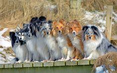 Alaskan Klee Kai, Border Collie, dogs, Shetland Sheepdog, Sheltie, cute dogs, breeds of good dogs, pets