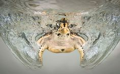 Splash by Christian Miller Hawksbill Turtle Shot with 2 Ikelite Strobes and Aquatica Underwater Housing. All Gods Creatures, Sea Creatures, Photos Sous-marines, Turtle Swimming, Amphibians, Reptiles, Tortoises, Underwater World, Underwater Photography