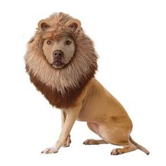 This Lion costume transforms your little friend into a Lion Dog! This costume is a plush mane headpiece.