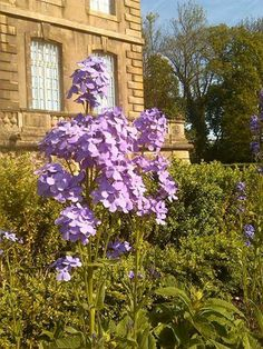 There are such lovely lavender colored blooms with part of the Chateau behind the flowers.