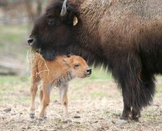 Buffalo Mom with her baby in Yellowstone National Park
