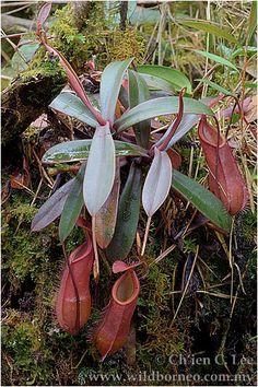 Nepenthes muluensis. A rare pitcher plant.