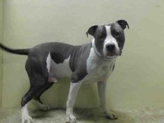 GONE --- URGENT - Brooklyn Center    BIGGS - A0993309    MALE, BLUE / WHITE, PIT BULL, 9 mos  STRAY - STRAY WAIT, NO HOLD Reason ABANDON  Intake condition NONE Intake Date 03/07/2014, From NY 11236, DueOut Date 03/10/2014 https://www.facebook.com/Urgentdeathrowdogs/photos_stream