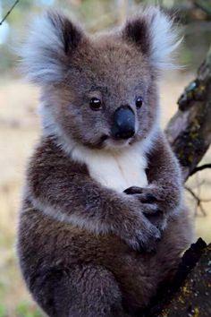 5aea422ef Photo Koala Bears, Cute Koala Bear, Baby Pandas, Red Pandas, Cute Panda