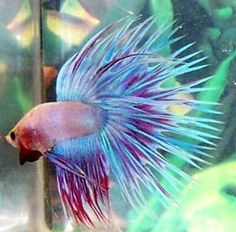Beta fish College pet