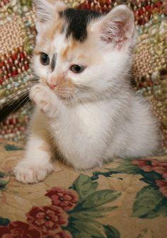 Petfinder Adoptable | Cat | Calico | Media, PA | Beth