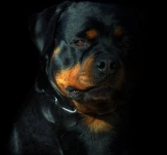 """Obtain fantastic pointers on """"rottweiler pups"""". They are actually accessible for you on our internet site. Rottweiler Love, Rottweiler Puppies, Chihuahua Dogs, Dogs And Puppies, Doggies, Pitbull, Animals And Pets, Cute Animals, Funny Animals"""