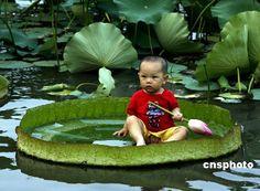 Giant Lotus Leaf :)    #lotusflower #babies #lake