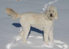 Bentley in the snow.
