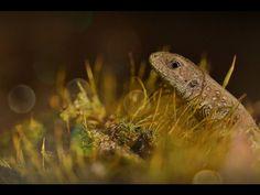 Jaszczurka zwinka - National Geographic