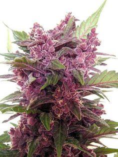 SativaMagazine.com #bud #ganja #reefer #chronic #kush #hydro #skunk #dope #grass #haze #smoke #herb #cannabis #ifweedwerelegal #legalizeit #weed #pot #hemp #marijuana #stonerfamily #legalize #MMOT #mmj #maryjane #medical #cancer #medicine