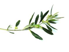 symbols of peace in western art - oh, the olive branch...