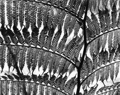 Fern Silhouette by Brett Weston