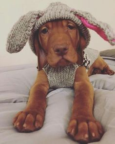 "Vizsla Pup ~ Classic ""It's a Bird, It's a Plane, It's a."" Look.it's Anne on the pins again, so cute Vizsla Puppies, Cute Puppies, Cute Dogs, Dogs And Puppies, Beagle, Doggies, Weimaraner, Animals And Pets, Baby Animals"
